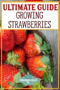 The ultimate guide to growing strawberries at home #piwakawakavalley