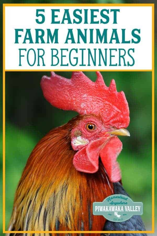 if you are starting a homestead, or want to raise animals these are the best easy animals for beginners to raise in your backyard or on a smallholding or farm. #homesteading #farmlife #piwakawakavalley
