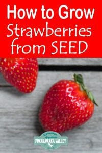 How to grow strawberries from seed for a big harvest. Not all strawberry varieties grow from seed, but find out how to do this here #piwakawakavalley