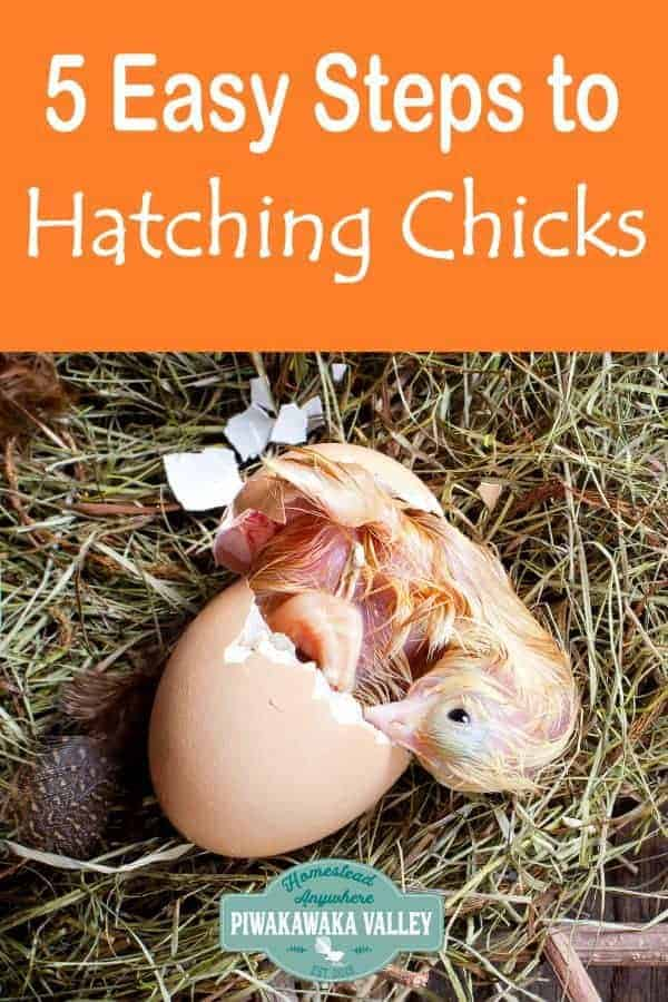How to hatch chicken eggs successfully with an egg incubator in 5 easy steps. #raisingchickens #backyardchickens #piwakawakavalley
