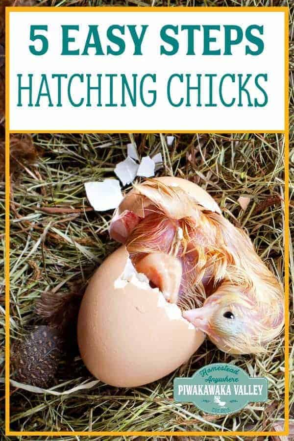 How to hatch eggs at home without incubator (and with one) in 5 Easy Steps promo image
