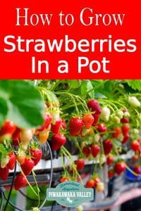 How to successfully grow strawberries in a pot. Containers are a great way to grow strawberries, no matter where you live #piwakawakavalley