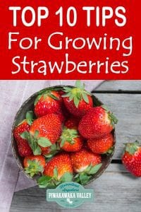 Here are the top 10 tips for growing strawberries at home in your backyard in pots or in a garden plot #piwakawakavalley