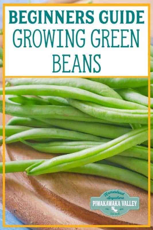 Here is the information you have been looking for! How to grow green beans, what is the difference between green beans and scarlet runner beans and are beans a good plant for beginner gardeners? Check out these helpful tips to get you started #vegetablegarden #getgrowing #piwakawakavalley