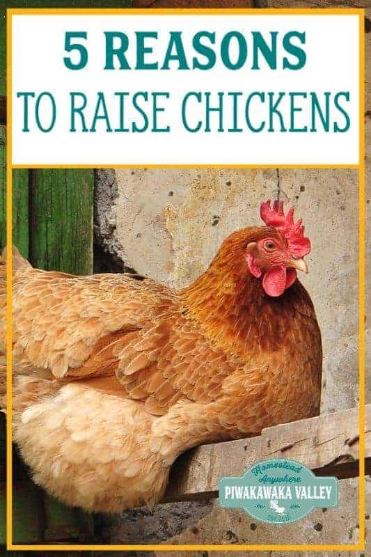 Top 5 reasons that you should keep chickens in your backyard. Chickens make a great addition to your homestead, even if you live in the city or on an urban homestead. Keeping chickens is easy and great if you are interested in self sufficiency and permaculture! #backyardchickens #piwakawakavalley