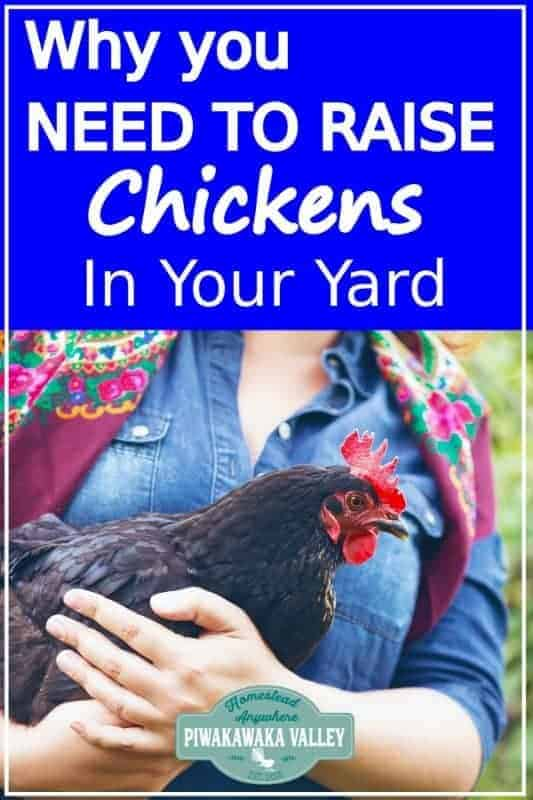Keeping hens for eggs is a great idea! Top 5 reasons that you should keep chickens in your backyard. Chickens make a great addition to your homestead, even if you live in the city or on an urban homestead. Keeping chickens is easy and great if you are interested in self sufficiency and permaculture! #backyardchickens #piwakawakavalley