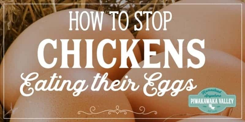 Preventing egg eating is the easiest way to stop chickens from eating their eggs. If you are keeping laying chickens, here are some proven tips to break the egg eating habit in your backyard chickens. Tips for keeping chickens #backyardchickens #homesteading #piwakawakavalley