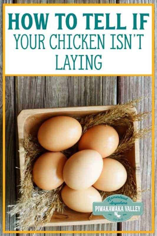 How to tell if your chicken isn't laying eggs anymore. How to tell your chickens are no longer productive #backyardchickens #keepinghens #piwakawakavalley #homesteading