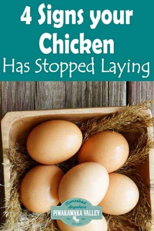 4 Genuine signs that your backyard chickens have stopped laying eggs - how to tell which chickens are still actively laying. #backyardchickens #homesteading #piwakawakavalley