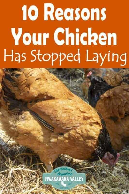Here are the top 10 reasons that your chickens may have stopped laying. If you keep backyard chickens you should check out these causes for poor egg production in chickens #chickens #homesteading #piwakawakavalley