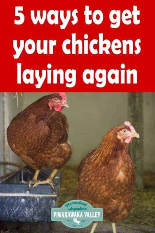 5 tricks to get your chickens laying again when they have gone off the lay. If you keep backyard chickens, check out these tips and tricks to boost egg production. #backyardchickens #keepingchickens #piwakawakavalley