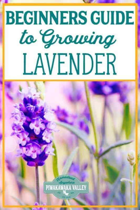 Are you new to gardening? Here is the beginners guide to growing lavender for your vegetable garden, in step by step fashion, everything you need to know about planting lavender in your backyard #vegetablegarden #piwakawakavalley