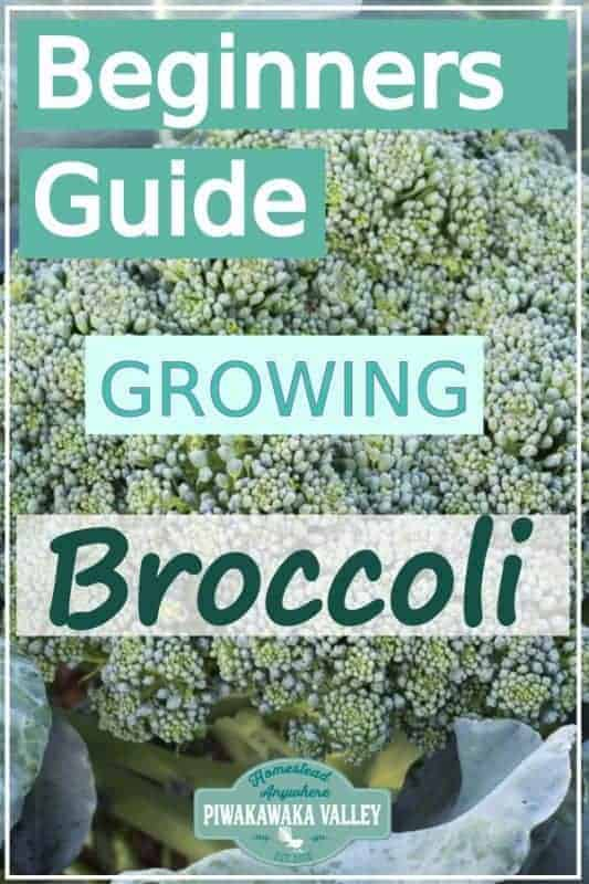 Are you new to gardening? Here is the beginners guide to growing broccoli for your vegetable garden, in step by step fashion, everything you need to know about planting broccoli in your backyard #vegetablegarden #piwakawakavalley