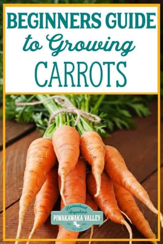 Are you new to gardening? Here is the beginners guide to growing carrots for your vegetable garden, in step by step fashion, everything you need to know about planting carrots in your backyard #vegetablegarden #piwakawakavalley