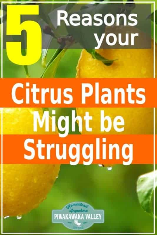 5 common diseases that affect all citrus trees including oranges, limes and lemons. If you are growing these fruits in your garden, this post is for you! Pin it for later #citrusplants #orchard #piwakawakavalley