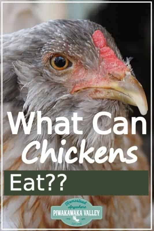Thinking about keeping chickens? What do chickens eat? What can you feed chickens and what plants are poisonous to hens? Find out with the ultimate chicken feed guide #backyardchickens #homesteads #piwakawakavalley