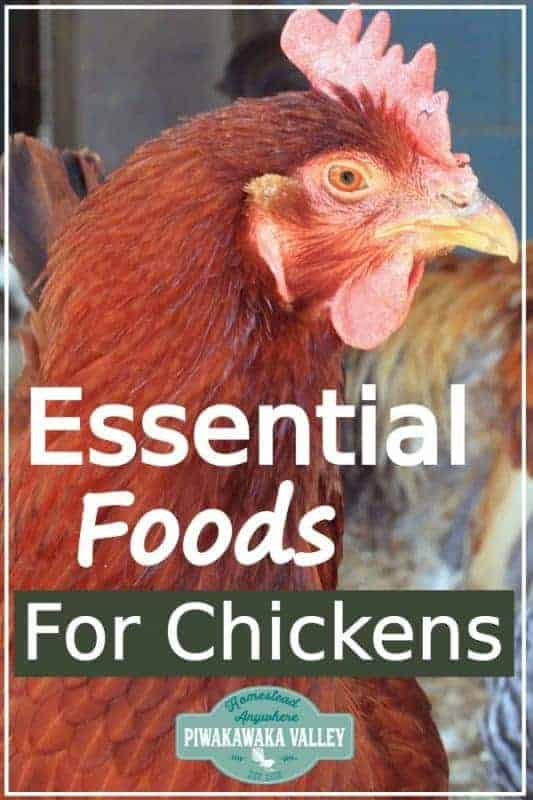 Make sure your chickens are getting these essential foods in their diet! What do chickens eat? What can you feed chickens and what plants are poisonous to hens? Find out with the ultimate chicken feed guide #backyardchickens #homesteads #piwakawakavalley