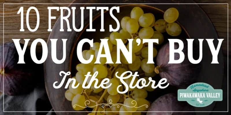 Not all fruit is sold in the store. Here are 10 delicious fruits that you can grow in your backyard that are not available commercially! Perfect for growing in a food forest or orchard #homesteads #urbanhomesteading #gardening #piwakawakavalley