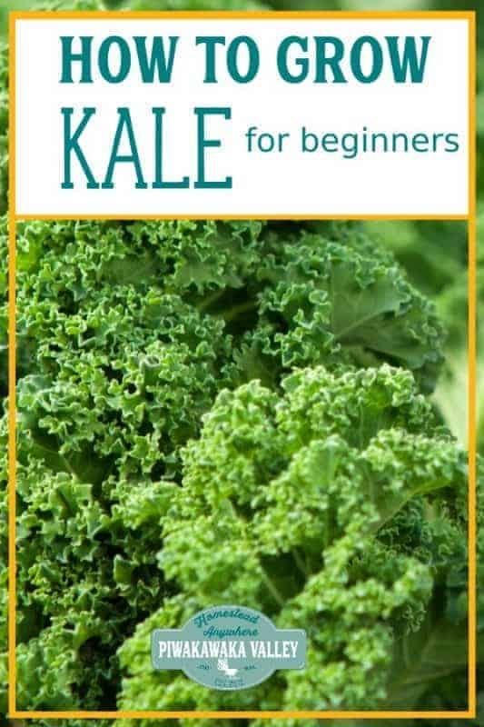 Kale is one of the easiest vegetable plants for beginners to grow! Here are step by step instructions on how to grow it in your vegetable or herb garden, or even in pots or containers. Get the full easy instructions in this beginner gardener guide #vegetablegardening #piwakawakavalley