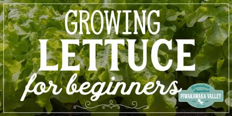 Lettuce is one of the easiest vegetable plants for beginners to grow! Here are step by step instructions on how to grow it in your vegetable or herb garden, or even in pots or containers. Get the full easy instructions in this beginner gardener guide #vegetablegardening #piwakawakavalley