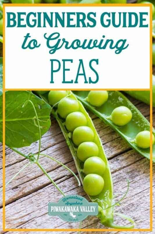 Are you new to gardening? Here is the beginners guide to growing peas for your vegetable garden, in step by step fashion, everything you need to know about planting peas in your backyard #vegetablegarden #piwakawakavalley