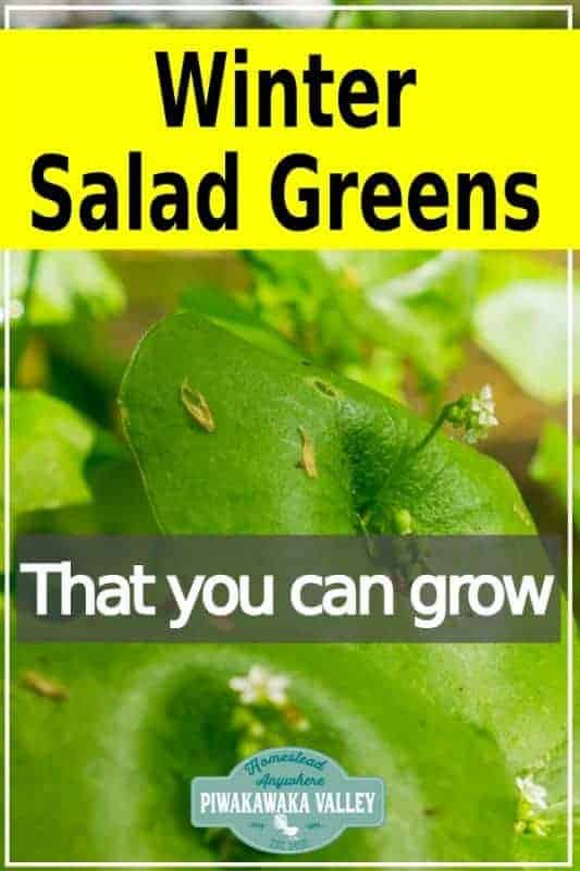 Here are some salad greens that you can plant now and have salad greens next winter! Perennial, self sowing and super tasty you should try these wild greens #forrage #piwakawakavalley