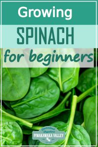 Spinach is one of the easiest vegetable plants for beginners to grow! Here are step by step instructions on how to grow it in your vegetable or herb garden, or even in pots or containers. Get the full easy instructions in this beginner gardener guide #vegetablegardening #piwakawakavalley