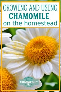 Are you thinking about growing chamomile in your herb garden this season? You should! Here is everything you need to know about growing and using chamomile around the homestead and in herbal remedies #piwakawakavalley
