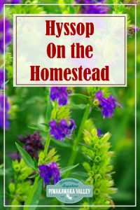 Growing and using hyssop the herb on the homestead and in your herb garden in your backyard. #piwakawakavalley