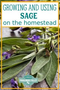 Are you thinking about growing sage in your herb garden this season? You should! Here is everything you need to know about growing and using sage around the homestead and in herbal remedies #piwakawakavalley