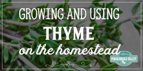 Are you thinking about growing thyme in your herb garden this season? You should! Here is everything you need to know about growing and using thyme around the homestead and in herbal remedies #piwakawakavalley