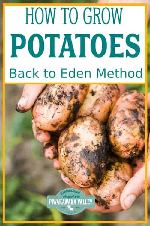 Growing potatoes using the back to Eden method of gardening is by far the easiest way to get a good crop of potatoes for beginner gardeners. Follow this step by step guide to growing a good crop of spuds in your vegetable garden this season