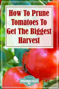 Pruning tomatoes correctly can be so confusing when you are a beginner gardener. Here is a step by step guide to pruning tomatoes correctly for a bumper crop of toms in your garden this coming season #vegetablegardening #piwakawakavalley