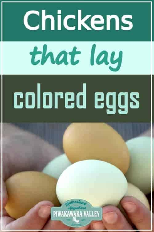 chickens that lay coloured eggs promo image