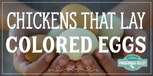 t has become quite fashionable to produce colorful eggs right from your very own backyard. So if you would like to gather up a colorful basket of eggs each time you go out to visit your hens, here are 5 breeds of chickens that lay colored eggs. And that is just for starters.