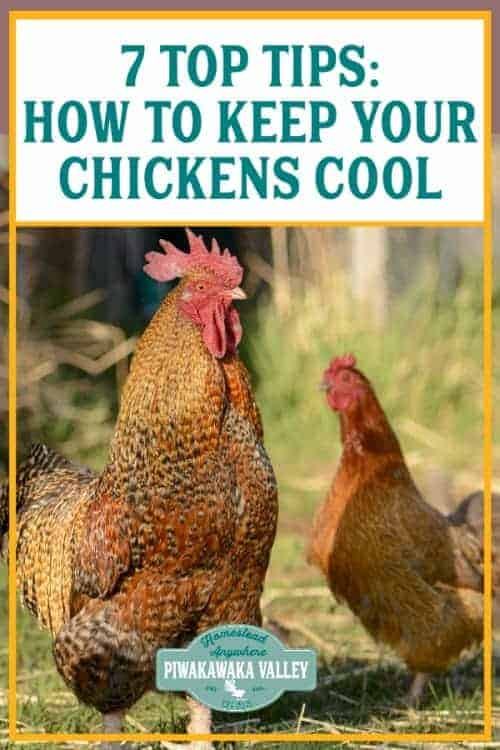 7 Top Tips on How to Keep your Chickens Cool - if you are raising chickens in the heat, you will need some ways to keep them comfortable to make sure they keep laying and don't suffer from heat stroke this summer. #piwakawakavalley