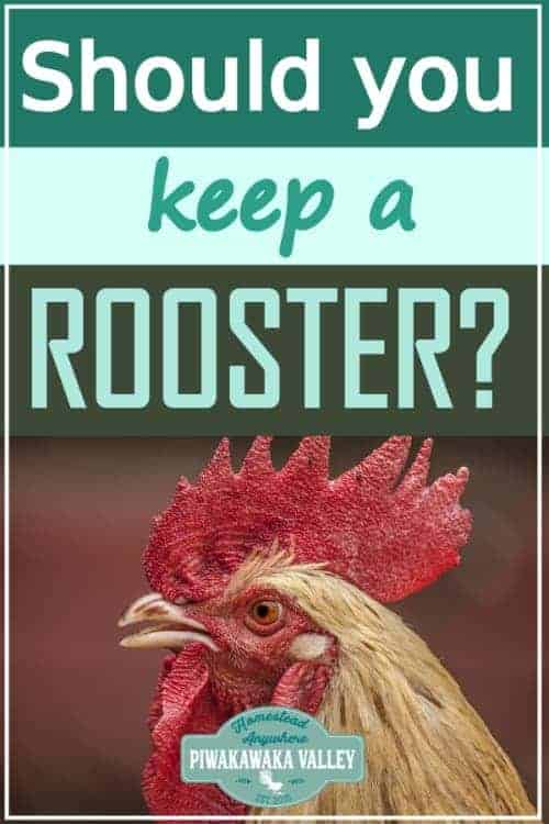 roosters with your hens promo image