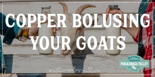 How often to copper bolus goats promo image