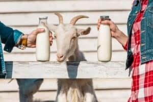 The Best Dairy Goat Breeds For Beginners promo image