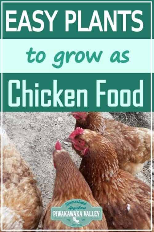 Easy Plants You Can Grow As Chicken Food to save money and to make your chicken eggs delicious! Making your own chicken feed is easy when you know how. #piwakawakavalley