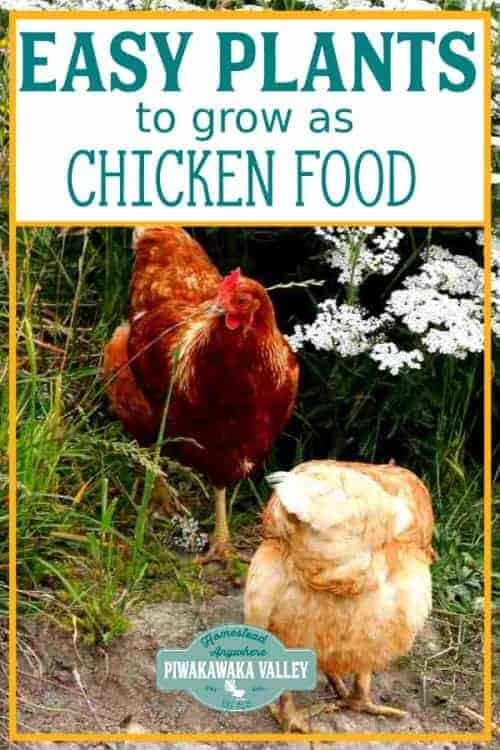 Easy Plants You Can Grow As Chicken Food