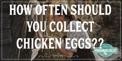 How Often Should You Collect Chicken Eggs And Why? promo image