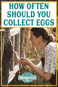 How Often Should You Collect Chicken Eggs 3