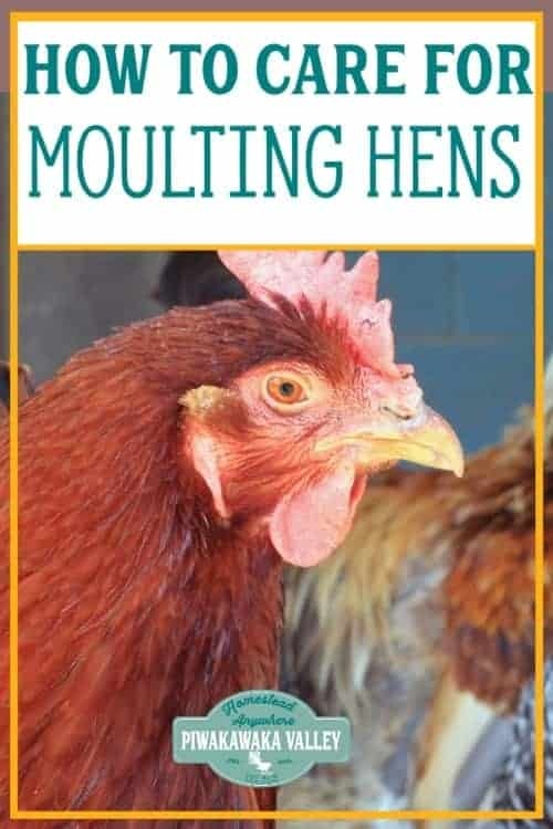 It is quite probable that your hens are moulting. Moulting is something that chickens go through and it usually is no reason to panic. Of course, you will need to know why they are moulting and what you can do to make this process as easy as possible for them. #piwakawakavalley