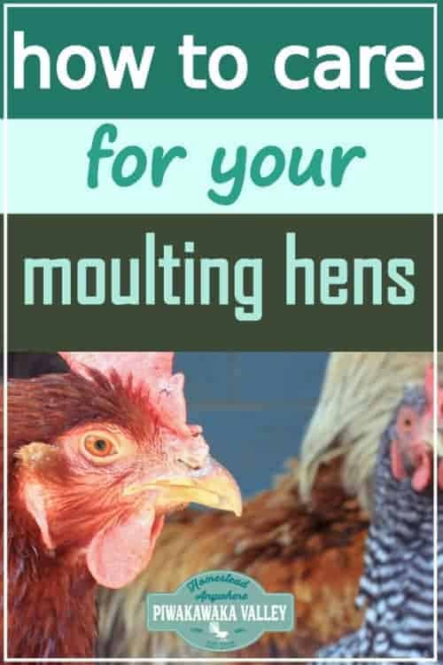 hens are moulting promo image