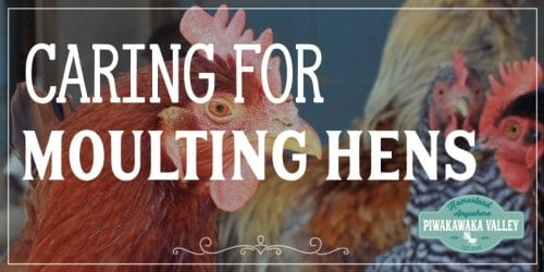 How To Care For Your Moulting Chickens