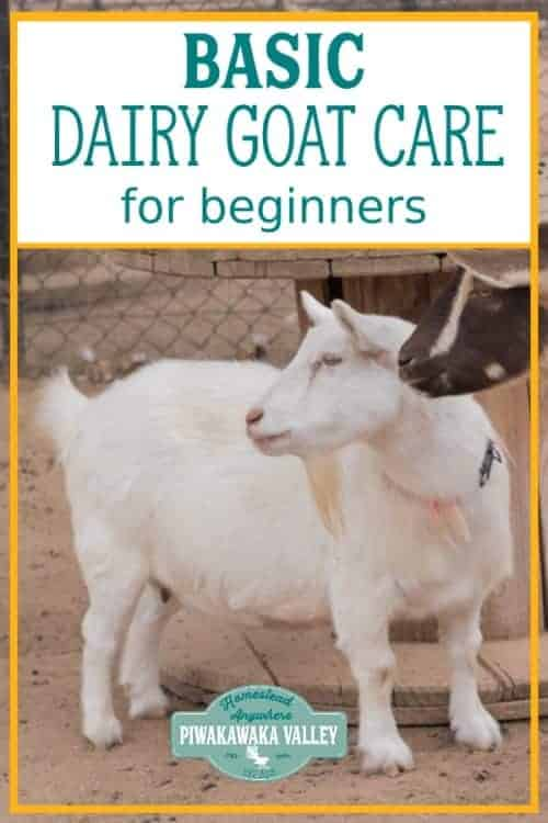 The Basic Dairy Goat Care for Beginners