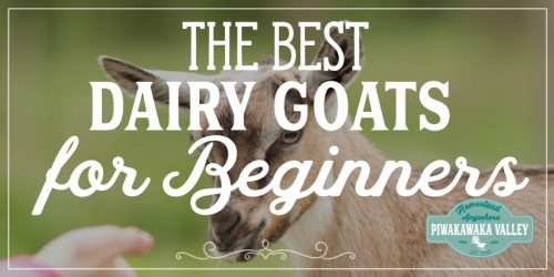 The Best Dairy Goat Breeds For Beginners
