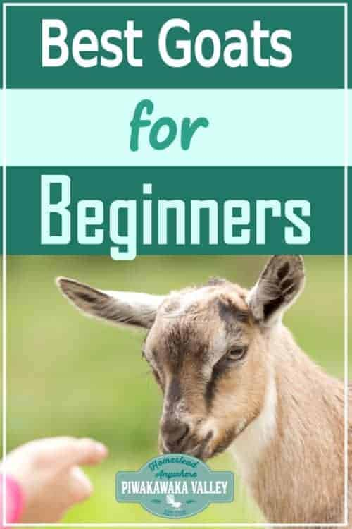 The Best Dairy Goat Breeds For Beginners - are you looking to keep some dairy goats on your homestead or small holding? Here are the best dairy goats form beginners to choose from #piwakawakavalley
