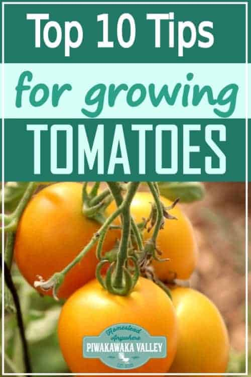 If you are growing tomatoes in your vegetable garden or tunnel house, you should check out these top tips for growing awesome tomatoes in your backyard. #piwakawakavalley